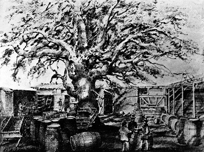 Photo of a drawing by Edward Vischer of El Aliso at Los Angeles, the old Vignes wine establishment.