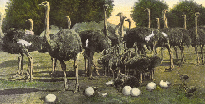postcard of the Cawston Ostrich farm