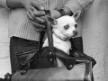 Chihuahua held in a purse