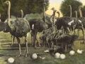 postcard of the Cawston Ostrich farm